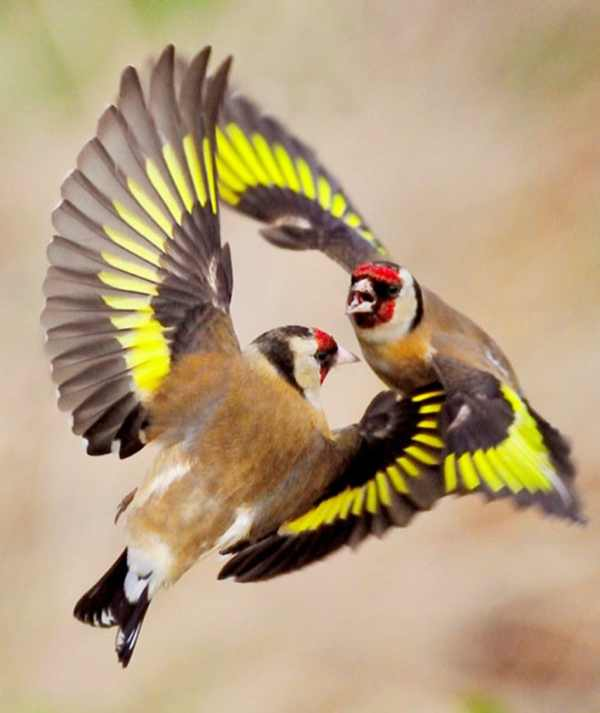 two-goldfinches-have-a-mid-air-fight-after-struggling