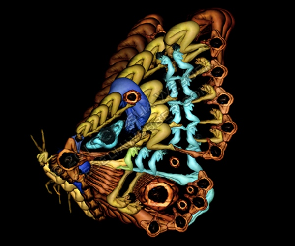 butterfly, human bodies