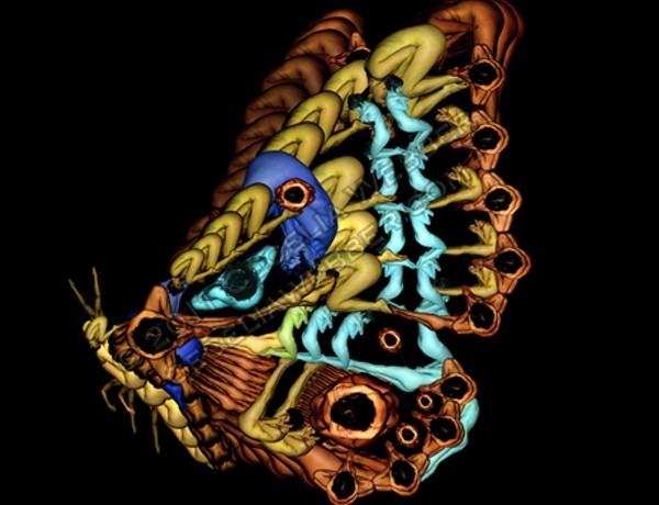 butterfly Cecilia Weber, human bobies