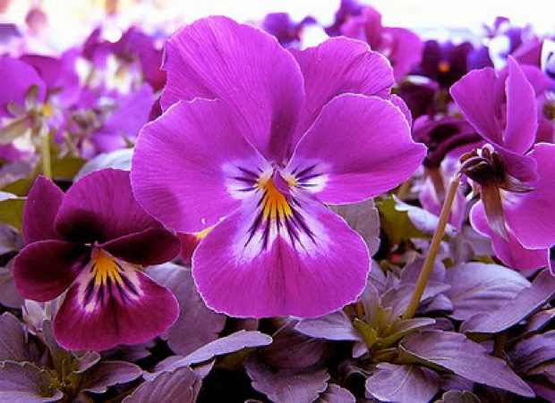 Purple-Pansy1