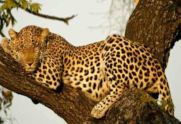 leopard-sleeping-in-tree
