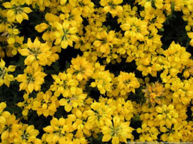 yellow flowers small