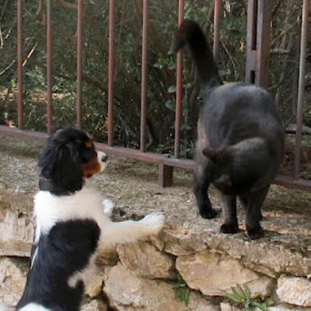 Oliver King Charles dog AND BLACK CAT Ninja