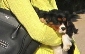 Yellow Fluorescent Sweater, Celine handbag dog king Charles, Oliver
