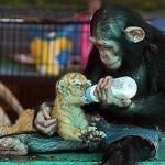 Mother's day Monkey feeding tiger