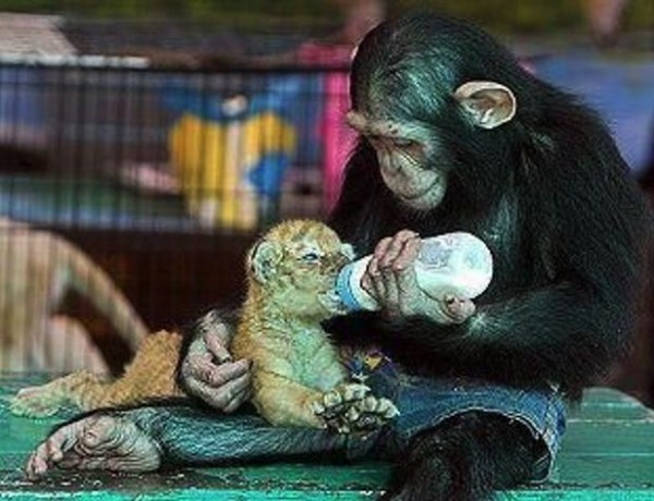 Mother's day Monkey feeding tiger