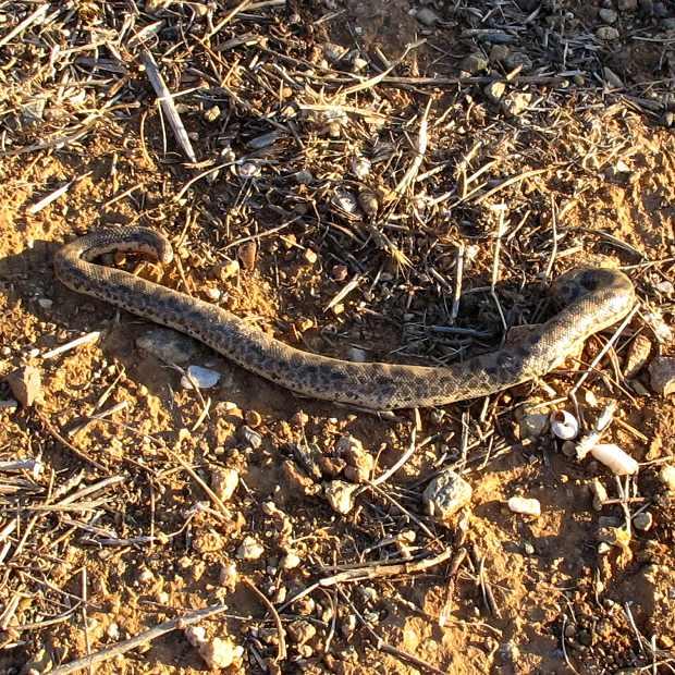 Snake Tiflitis Blind Snake poisonous