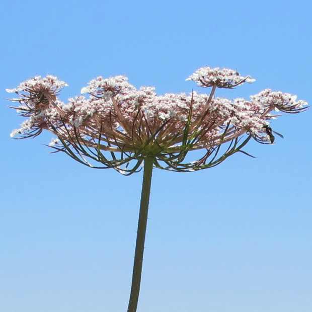flower Paros