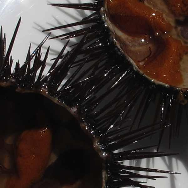 Sea Urchins detail