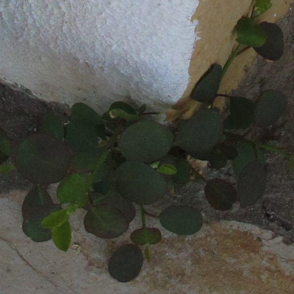 Kapari Plant Corfu