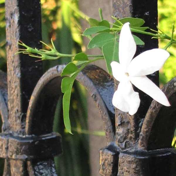 Agnelli's Villa flower