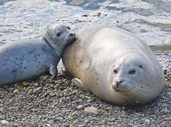 Seal mom and baby living close by in La Jolla