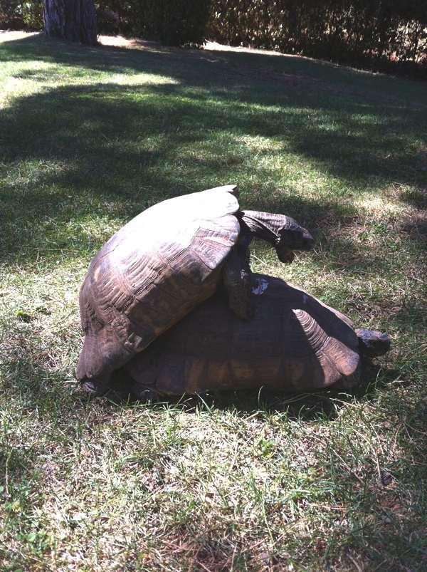 turtles sex