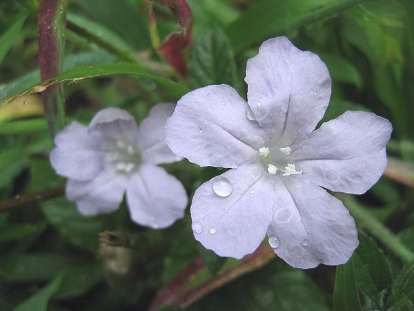 Wild Petunia Flower