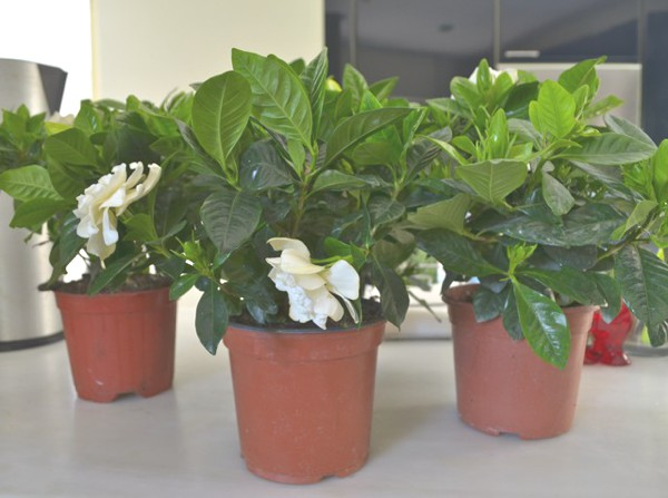 DIY- My New Gardenia Floral Centerpiece -0000