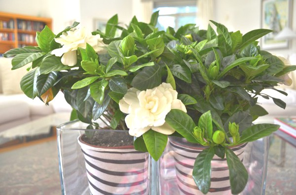 DIY- My New Gardenia Floral Centerpiece -0005