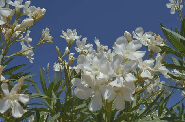 White Nerium oleander Greece