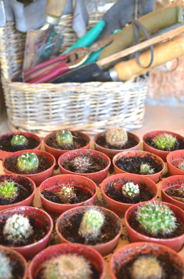 Mini Cactus DIY