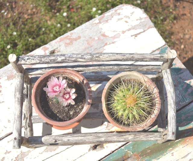 Trendsurvivor- mini cacti flower