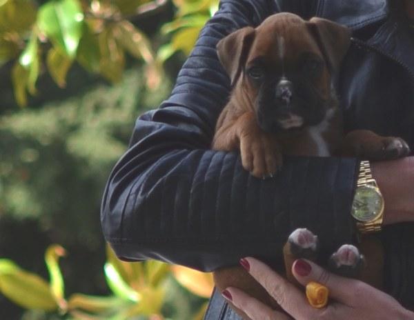 Maximo-Boxer baby