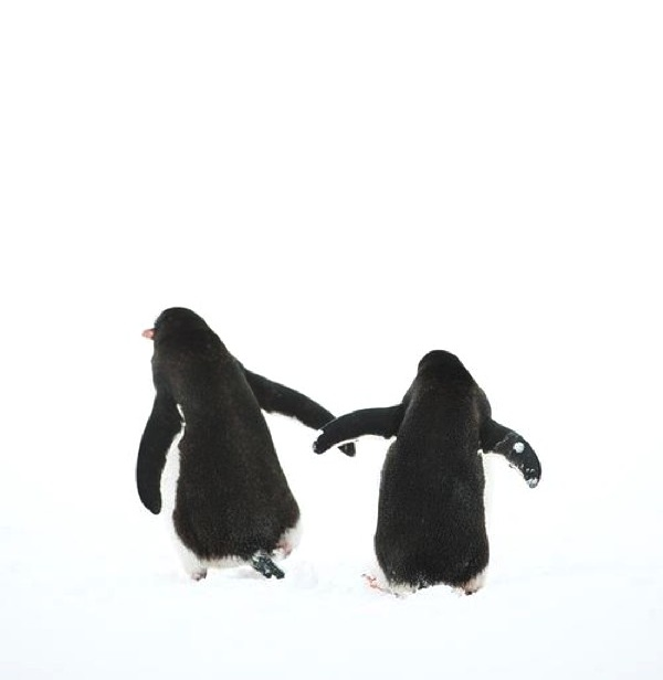 Penguins couple  back
