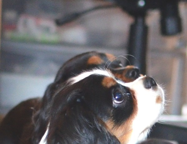 Spot tri-color cavalier king charles 00