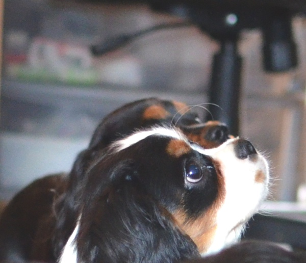 Spot tri-color cavalier king charles