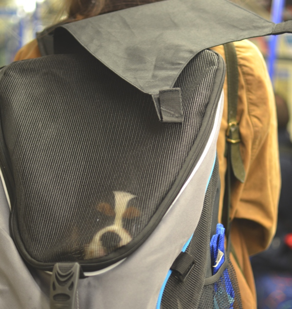 London with Spot, cavalier king charles backpack