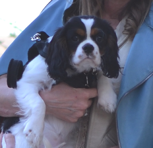 cavalier king charles tricolor