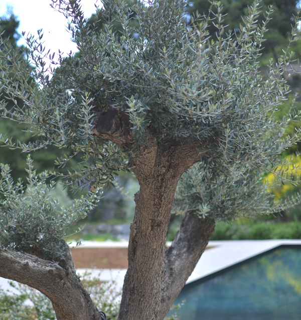 Olive tree, black swimming pool