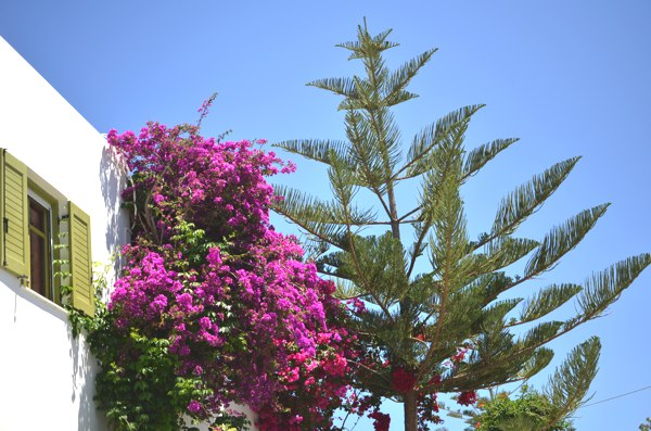 bougainvilleas purple Greece