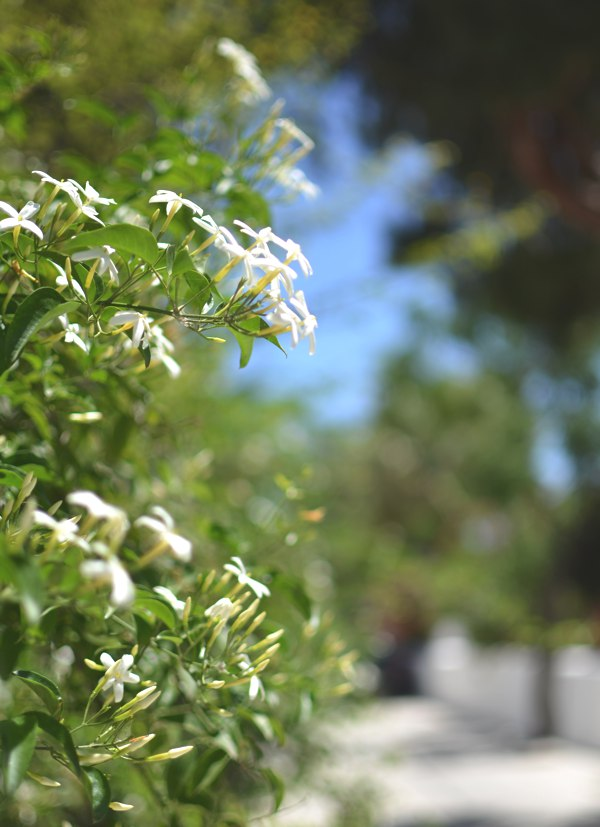 jasmin flower Greece