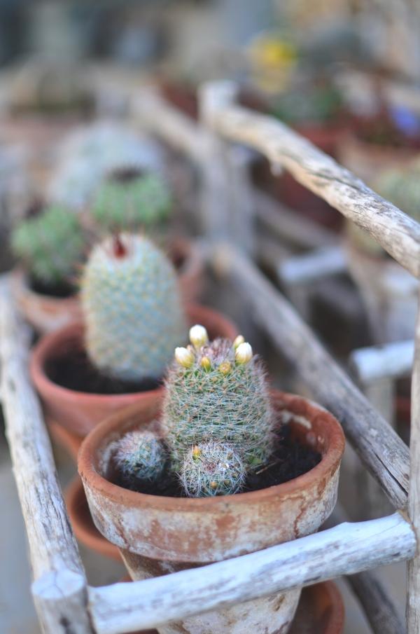 mini cactus flower