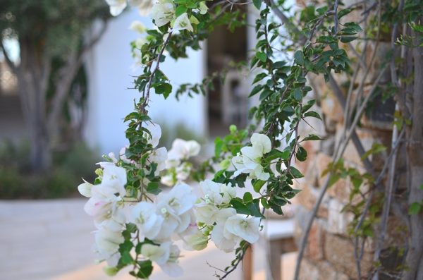 bougainvillea tree white