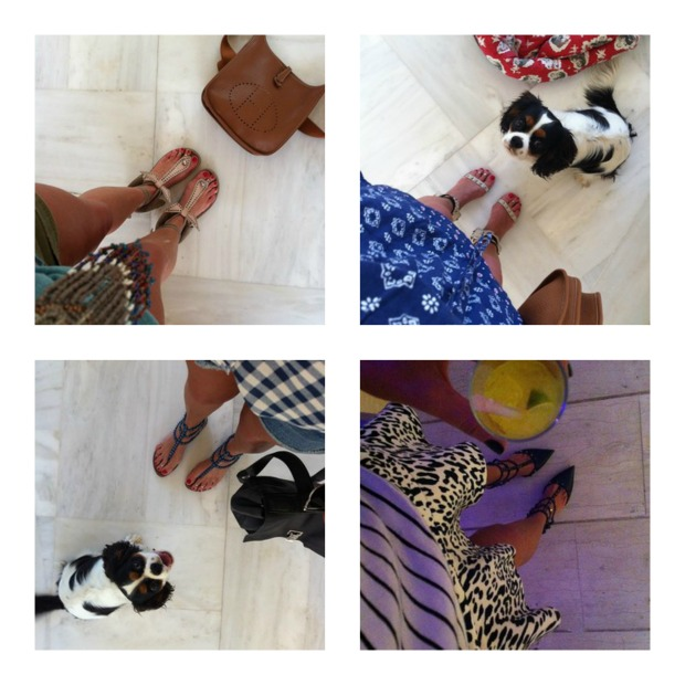 Spot cavalier king charles and  designer shoes