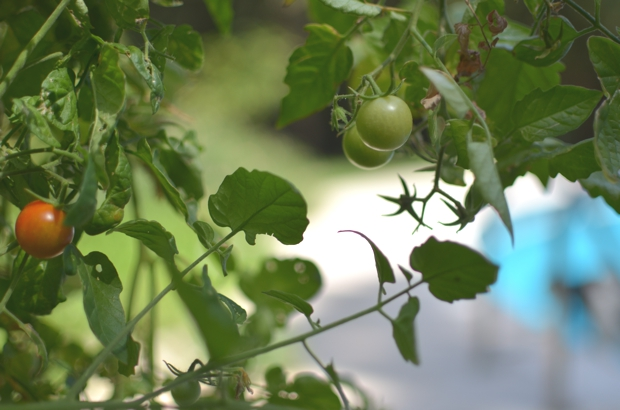 cherry tomatoes garden