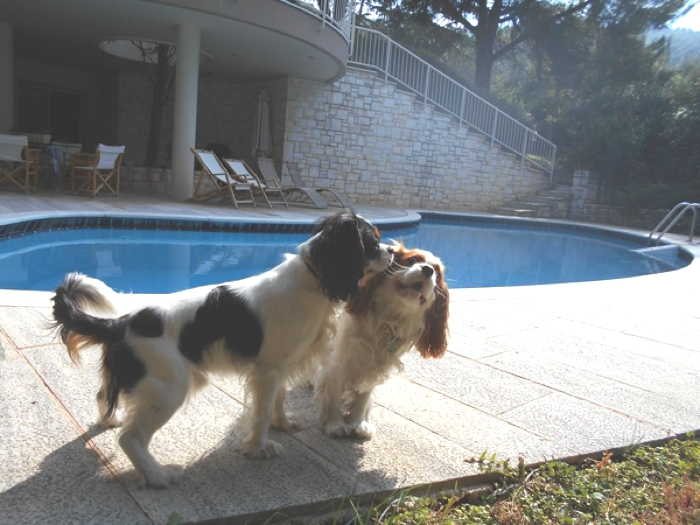 Cavalier King Charles Party