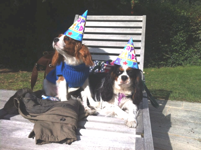 Cavalier King Charles Party22