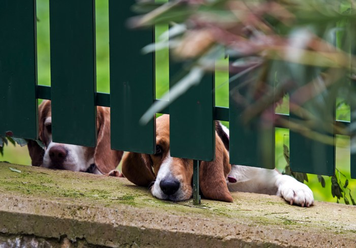 Pets watching from the fence