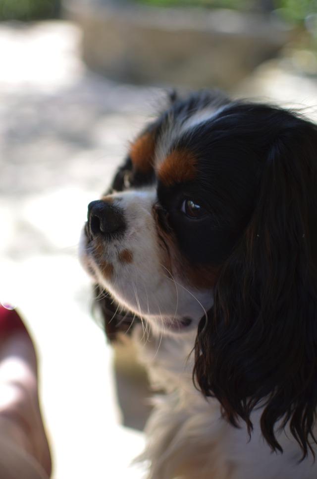 Baby cavalier King Charles Spot