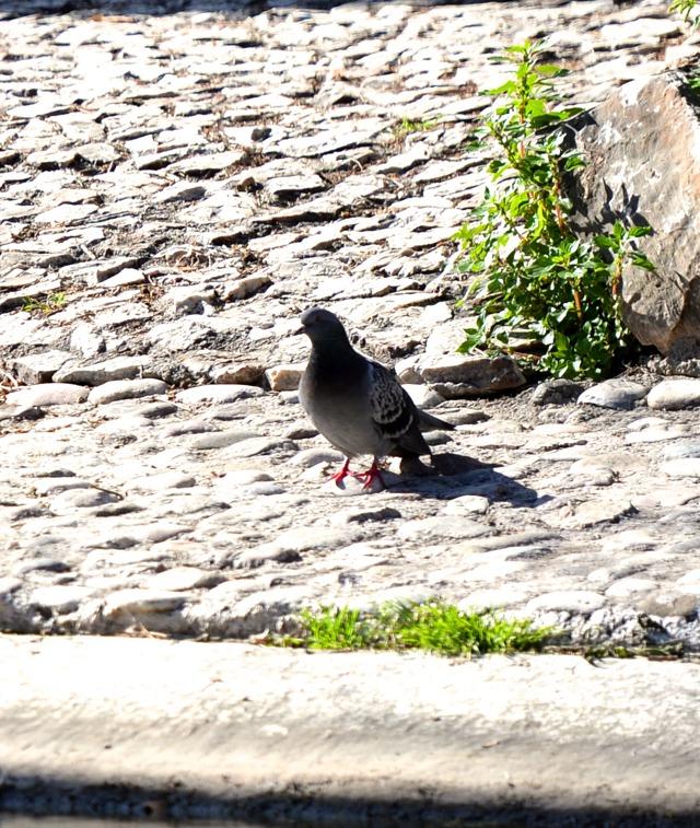 National Garden Athens pigeons