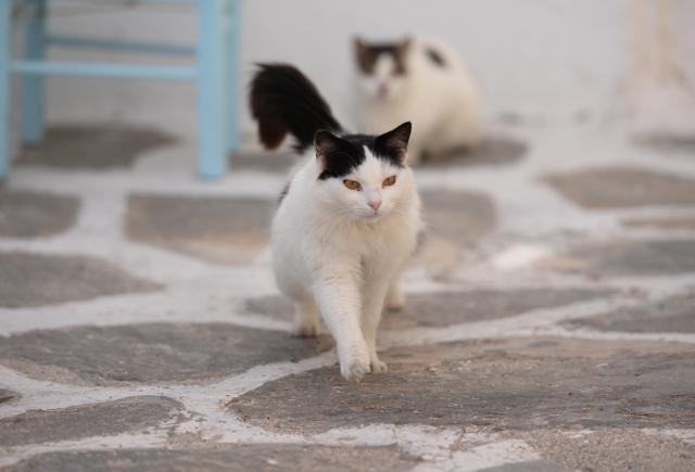 Paros Naoussa cat