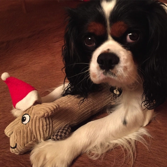 Spot with Christmas pet