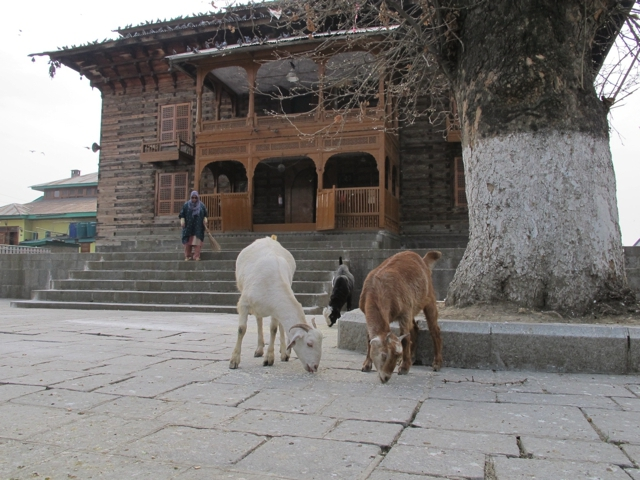 Kashmit temple goats